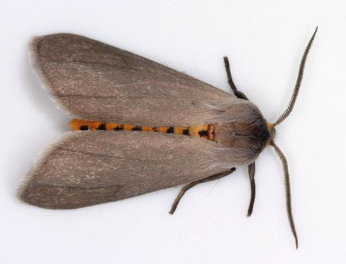 Milkweed Tiger Moth