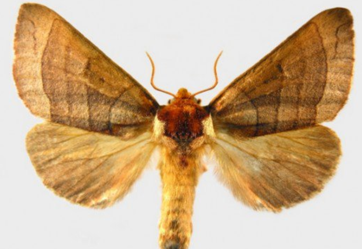 Azalea Caterpillar Moth