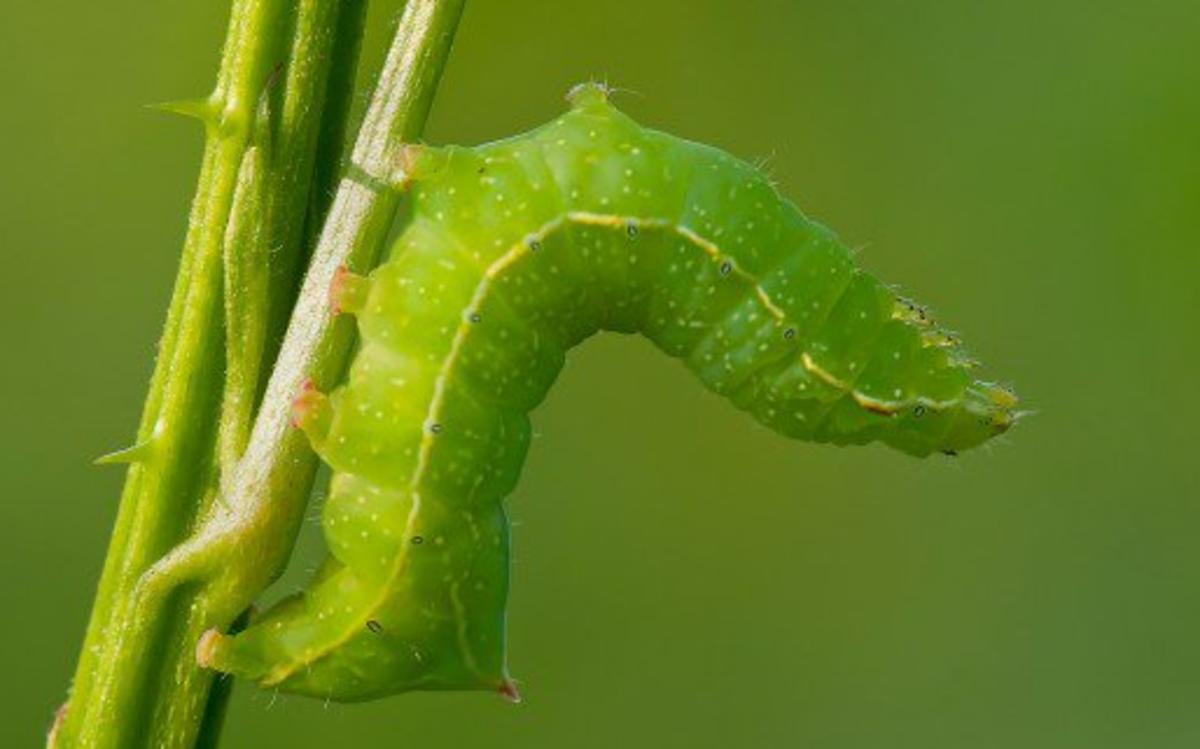 Copper Underwing Caterpillar