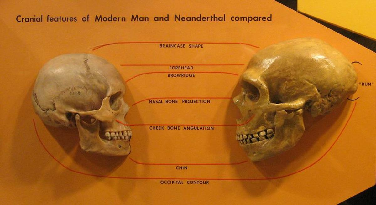 A comparison of a modern human skull with a Neanderthal skull. Note the prominent brow ridge and nasal bone projection in the Neanderthal skull.