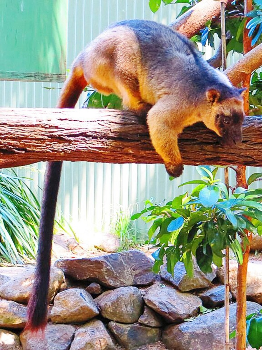 Another view of a Lumholtz's tree kangaroo