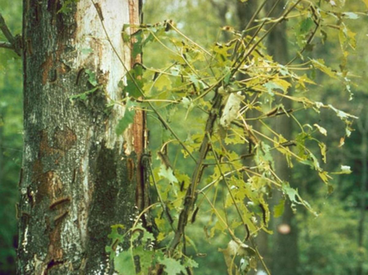 Gypsy moth caterpillars can defoliate entire trees.