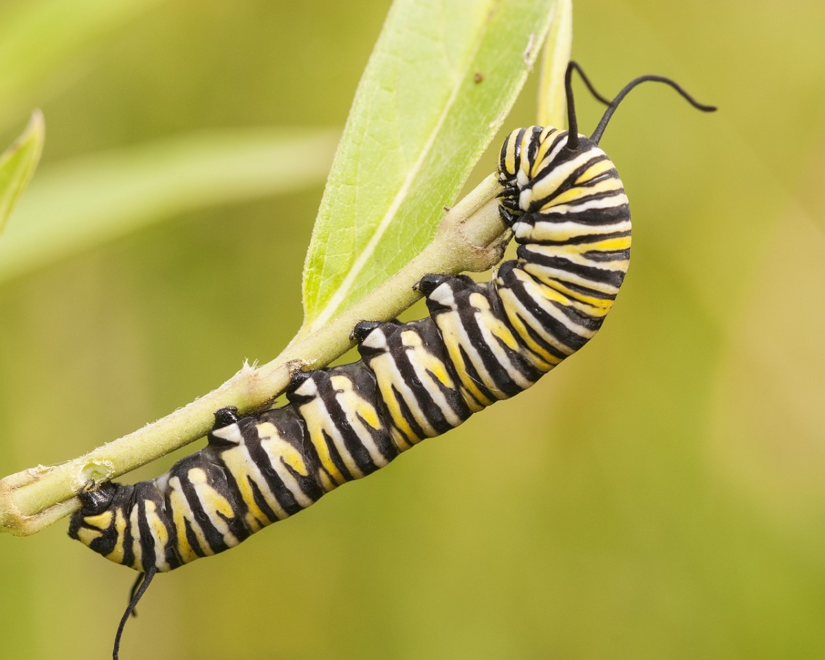 The caterpillar of the monarch butterfly