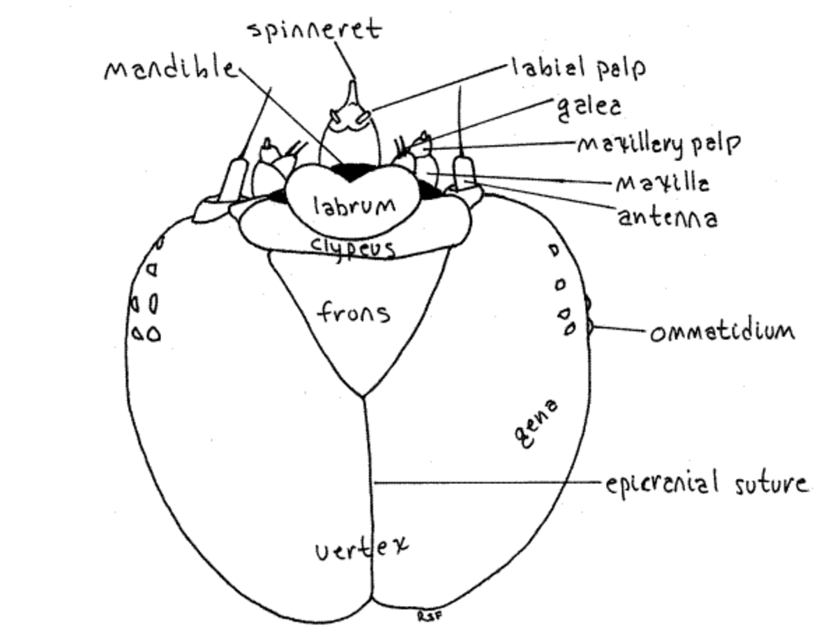 Image: anwebs.lander.edu/faculty/rsfox/invertebrates/papilio.html