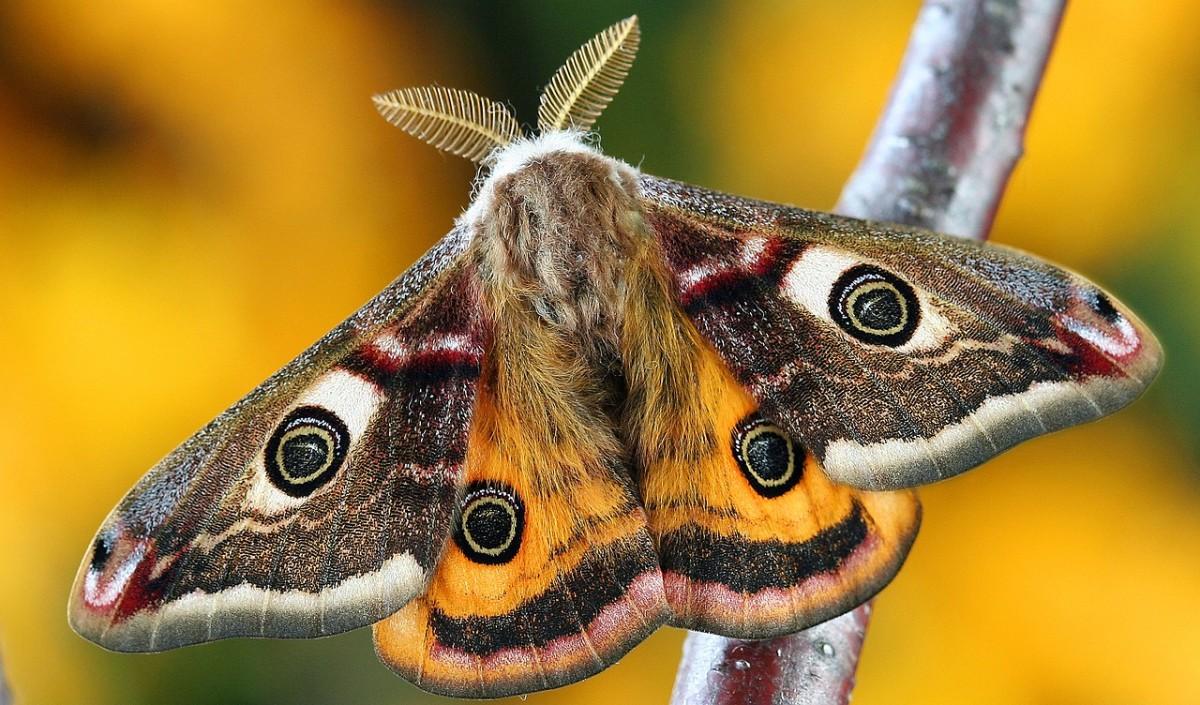 This beautiful moth was recently a cateprillar