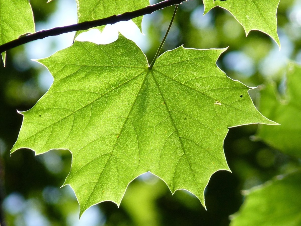 Chlorophyll in leaves is used to turn sunlight, carbon dioxide and water into food and oxygen