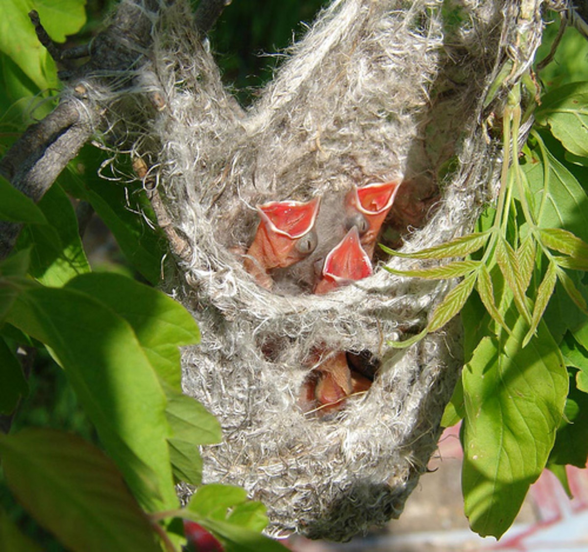 A female oriole will build a type of hanging basket nest for her eggs by weaving grass and plant fibers together.