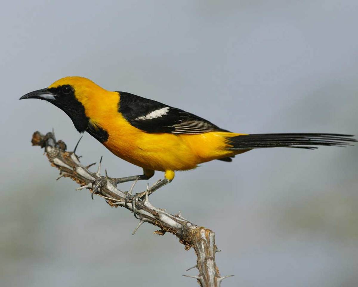 A hooded oriole