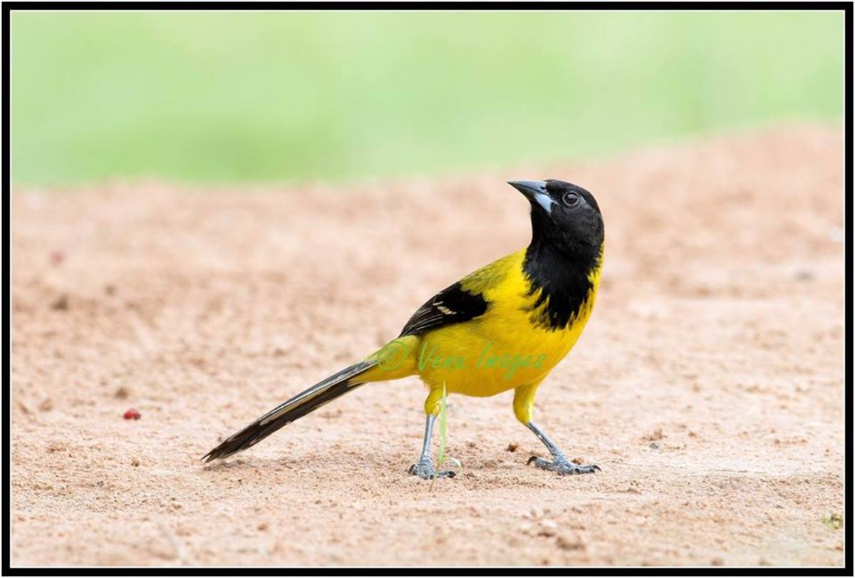 The Audubon's oriole (is one of the favored hosts of the nest-parasitic bronzed cowbird; more than half of all oriole nests in Texas have cowbird eggs in them.