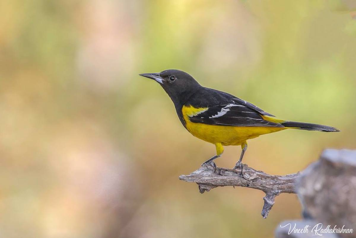 A Scott's oriole photographed in Texas.
