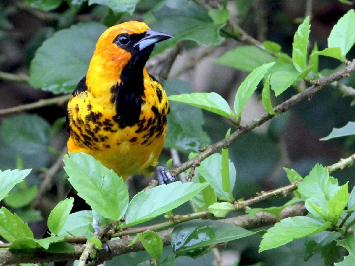 This stunning bird, a spot-breasted oriole, is only found in parts of southern Florida, and locations farther south.