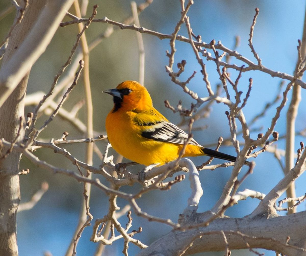 A streak-backed oriole (Icterus pustulatus) photographed in Yuma, Arizona.