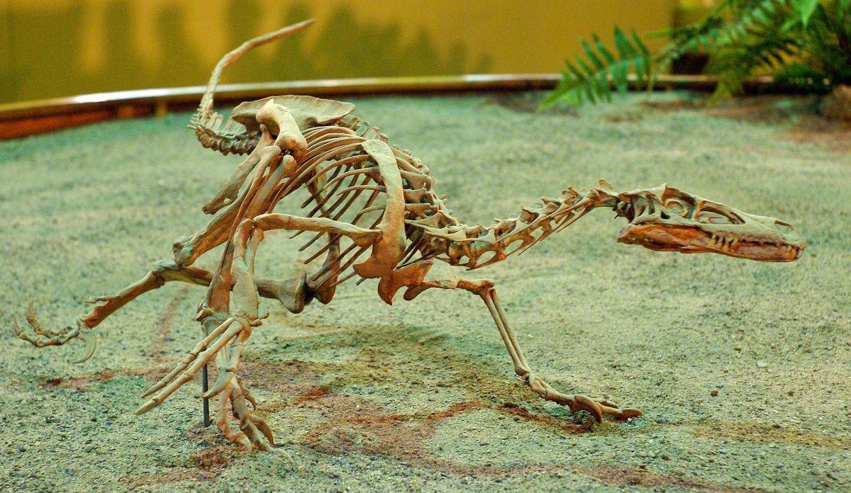 Fossilized Velociraptor