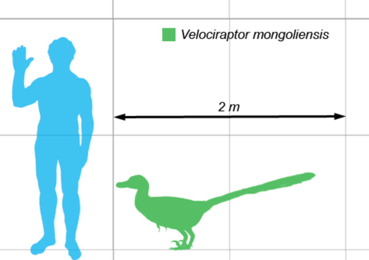 Actual size of Velociraptor, in contrast to humans.