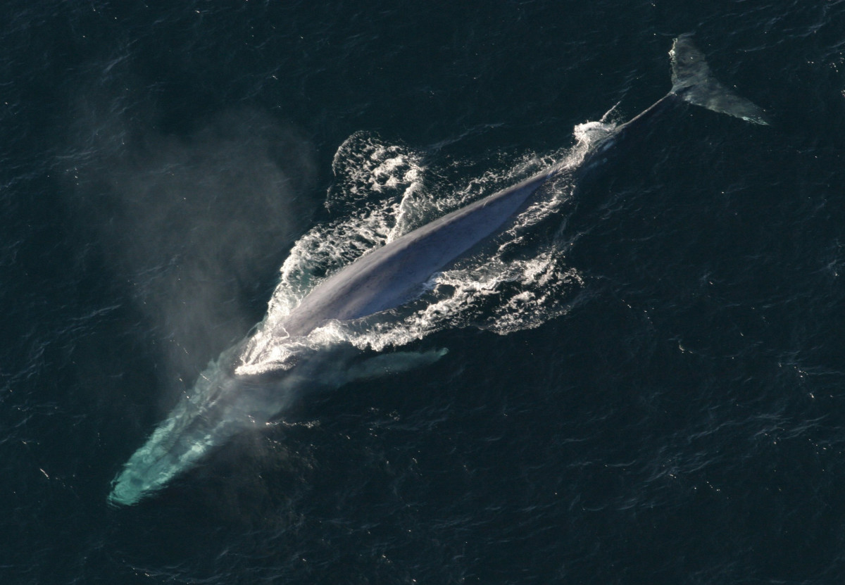 The endangered blue whale.
