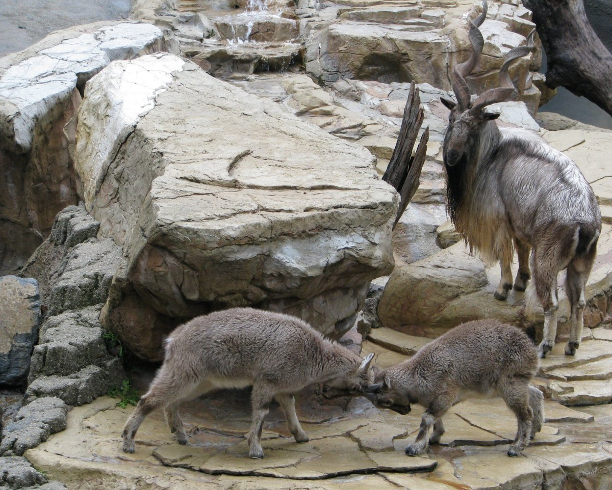 top-10-facts-about-markhors