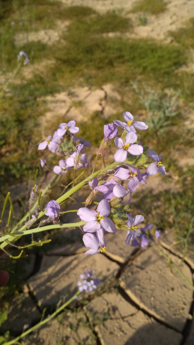 The gorgeous purple flowers of Diplotaxis acris are edible. (January 30, 2019, Al Bidea, Al Ula Governorate, Madinah Province Northwestern Saudi Arabia)