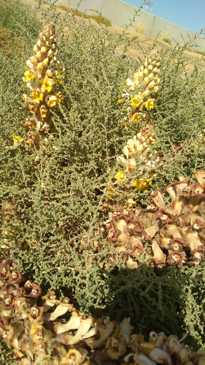 The conspicuous annual plant is a parasite. Here, Cistanche tubulosa is growing with its host plant in a roadside. (march 7, 2019, Al Khumra, Jeddah, KSA)