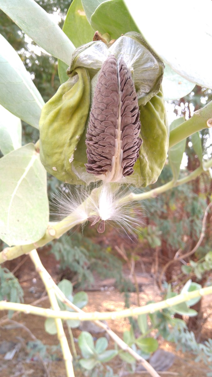 The amazing fruit of Calotropis procera erupted, giving way for seed dispersal by the wind. Each seed is equipped with white silky floss specific for that purpose. (September 14, 2018, Jeddah, KSA)