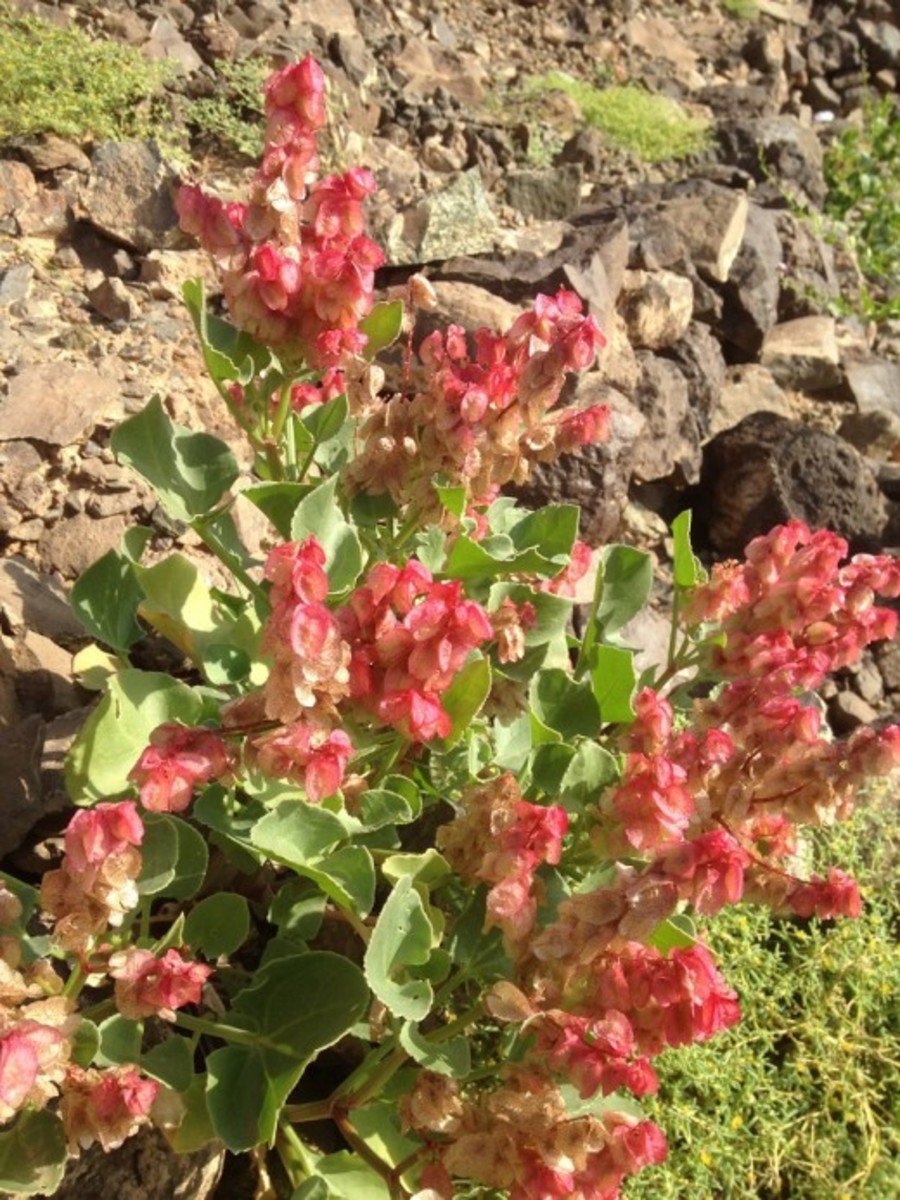 "The leaves of ""Hummaied"" (Rumex vesicarius L.) can be eaten raw in salads or cooked with pulses and other menu of your desire. (February 2, 2019, WAl-Wahba Crater, Harrat Kishb, Western Saudi Arabia)"