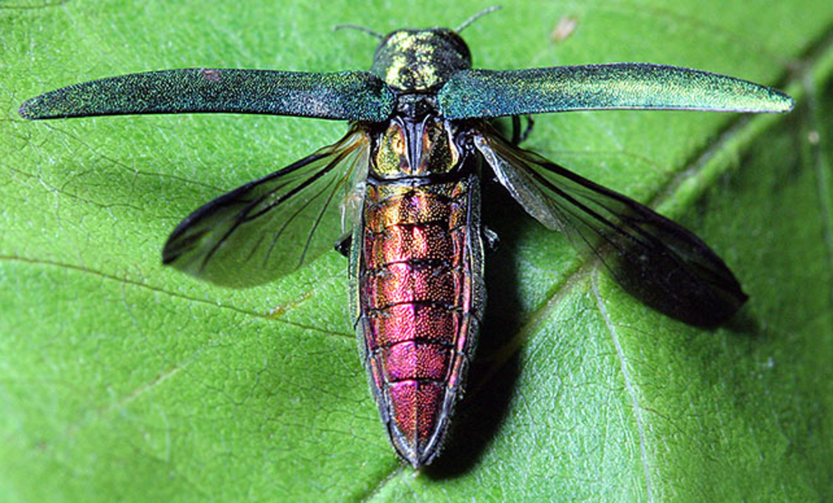 Emerald ash borer with wings spread -- beautiful but bad news