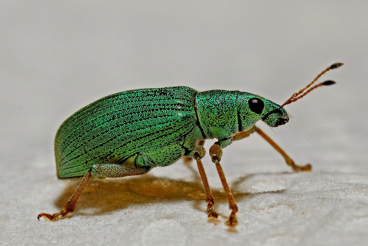The beautiful Green Weevil (genus Polydrusus) is very common in late summer.