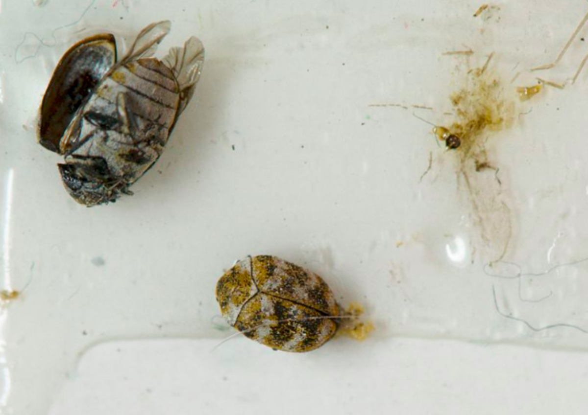 Carpet beetles caught in a sticky trap in a museum display