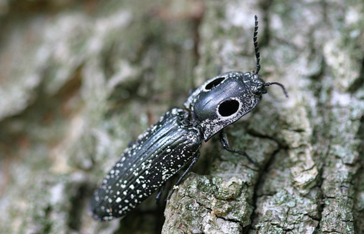 Eyed click beetle, Alaus oculatus