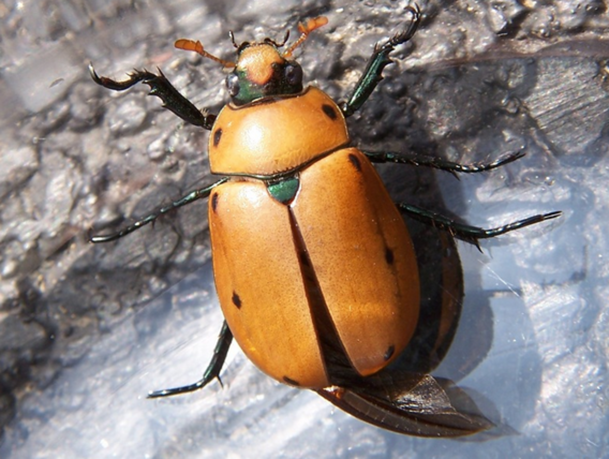 beetle-identification