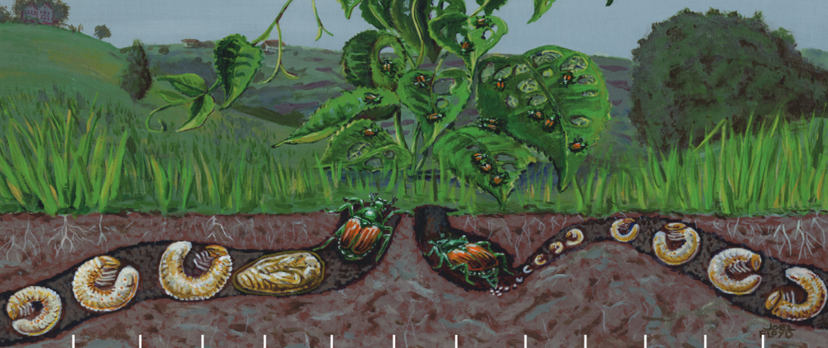 Graphic showing the underground larval and pupation stages of the Japanese beetle, Popillia japonica