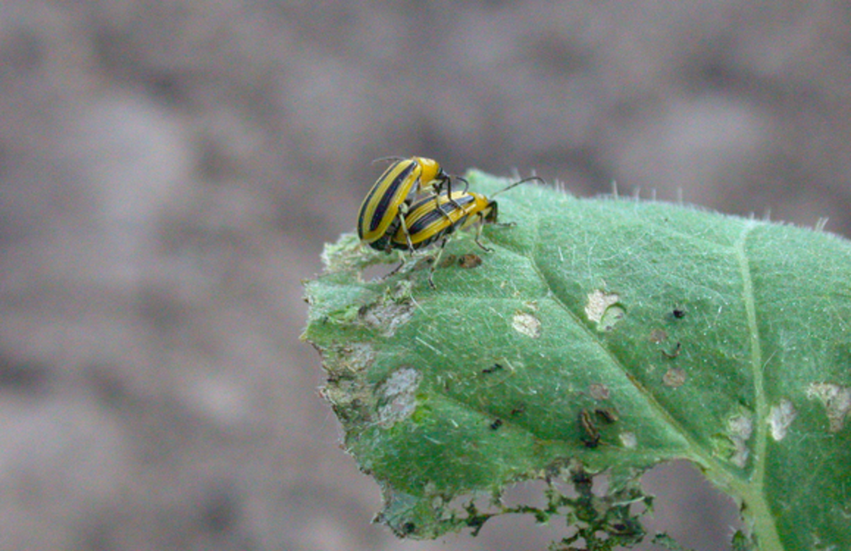 Two striped cucumber beetles, doing what cucumber beetles do