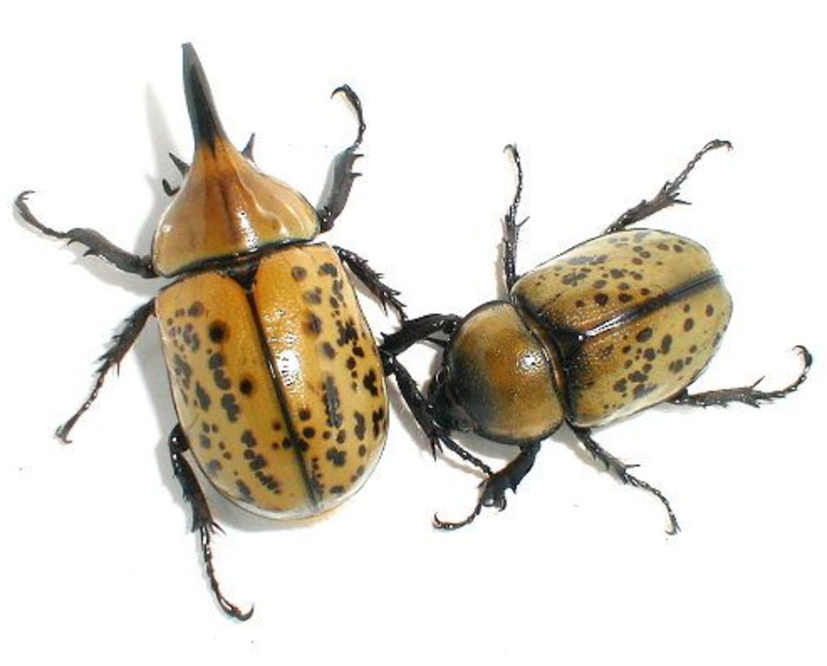 Male and female eastern Hercules beetle, Dynastes tityus