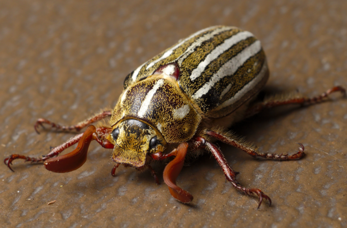 Ten-lined June beetle showing large, broad antennae