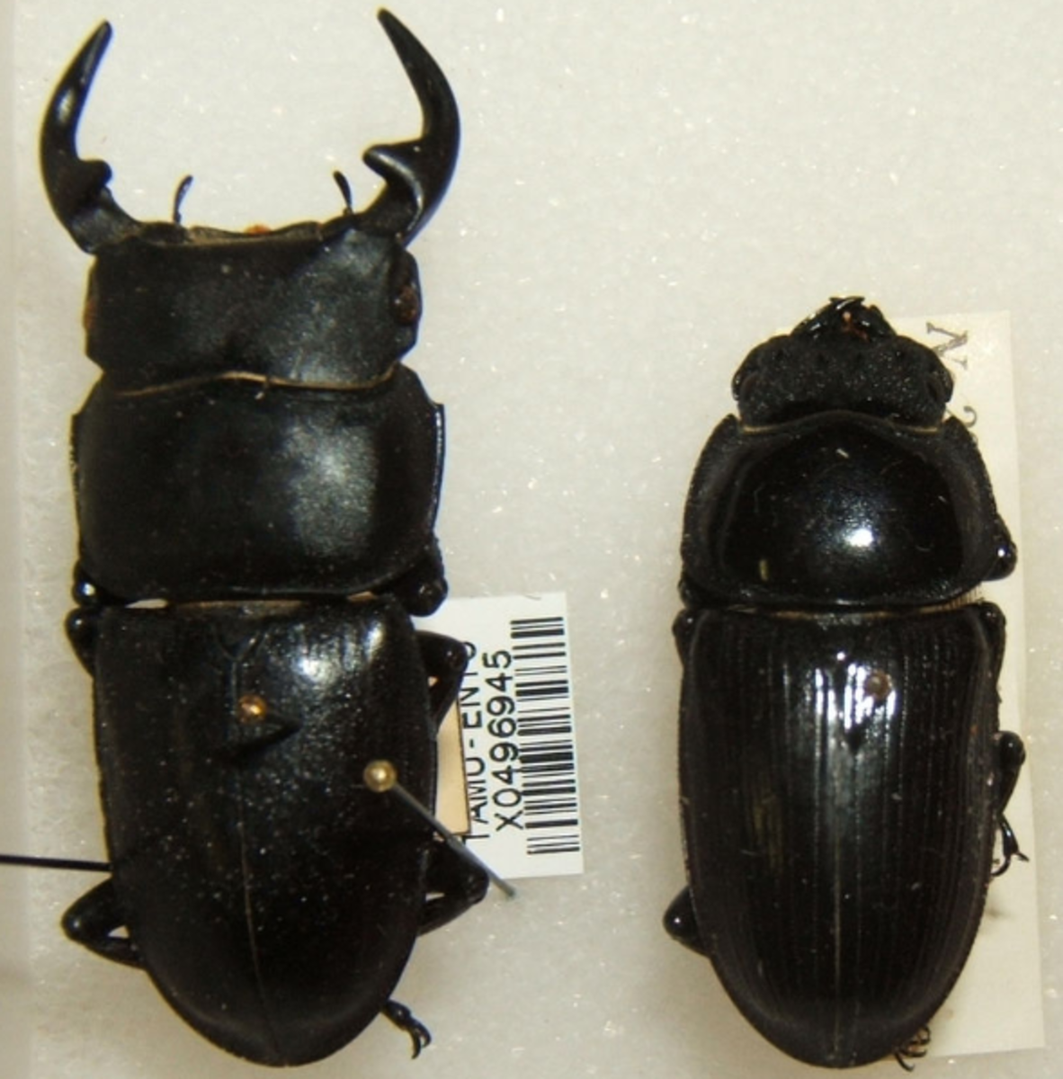 Stag Beetles: male on left, female on right
