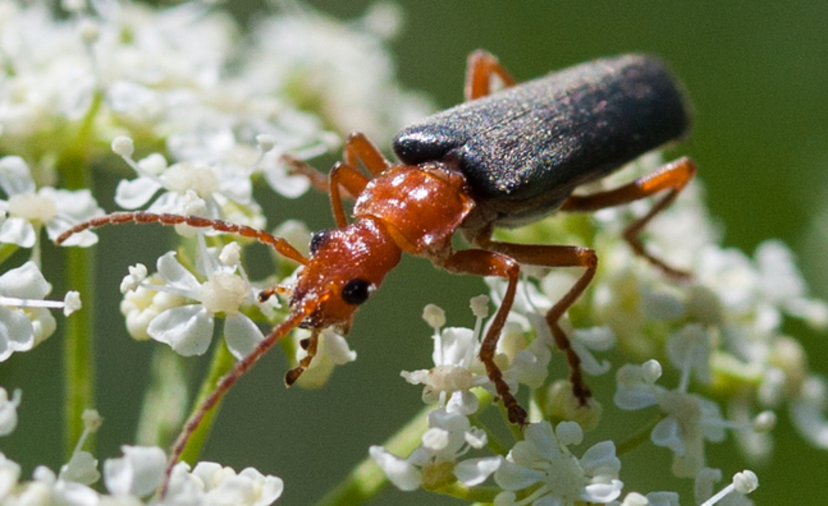 Beetle Identification and Guide to 21 Common Types | Owlcation