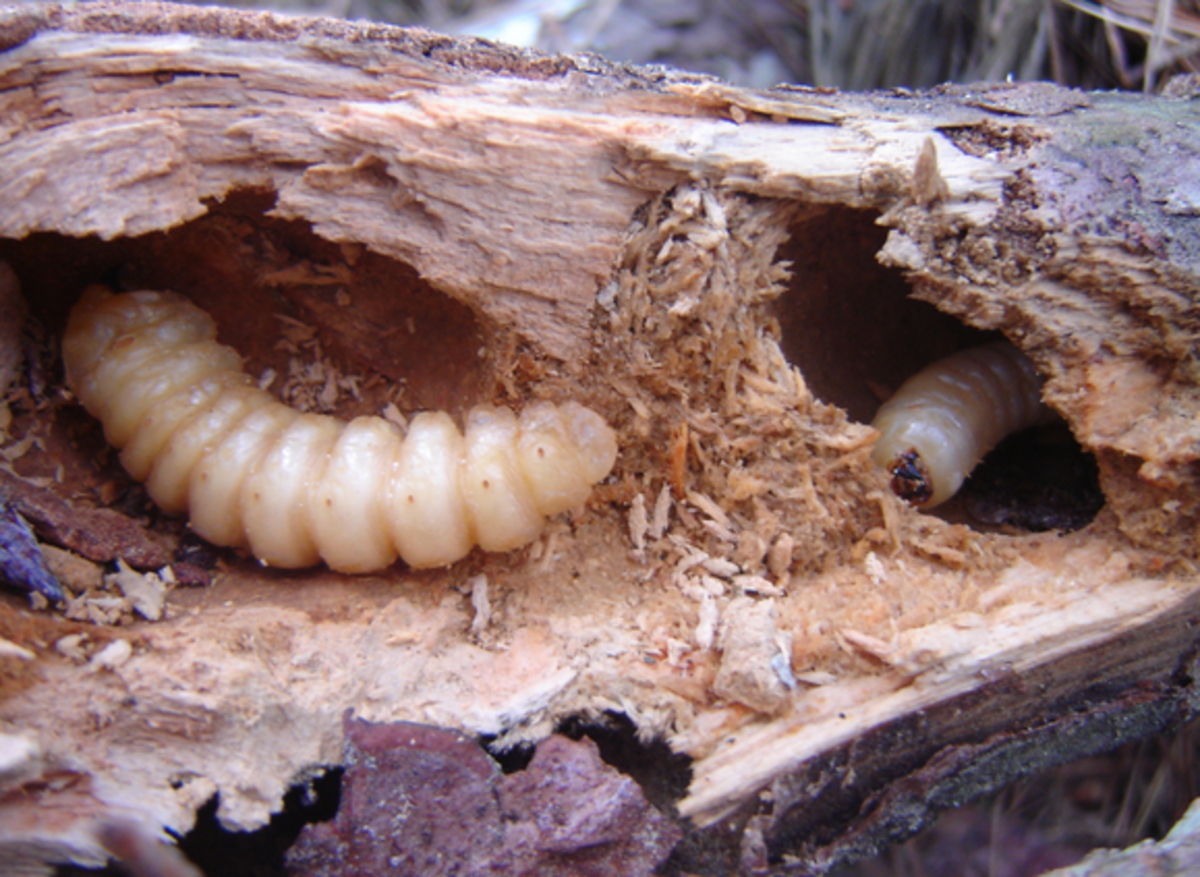 Beetle grubs in rotten wood