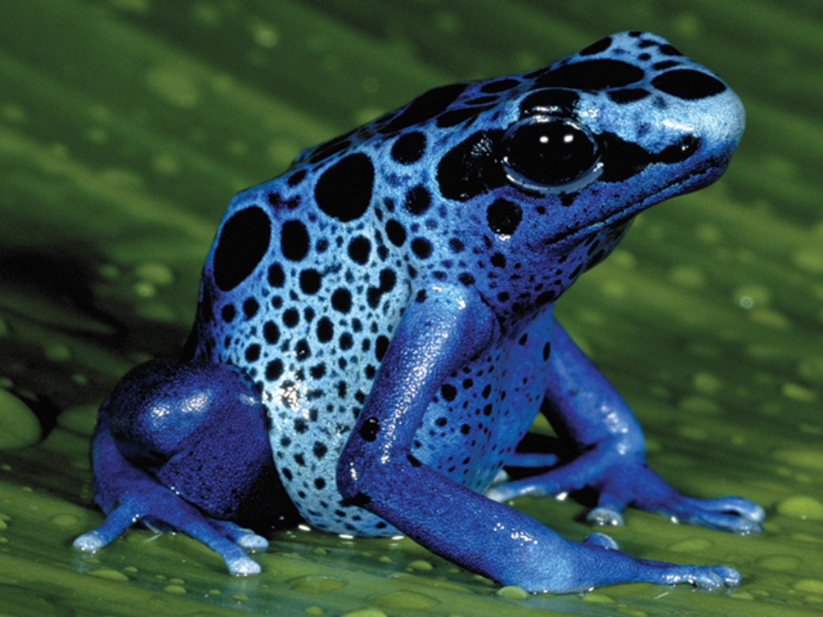 The rainforest is home to many unique species, like this beautiful but deadly poison dart frog.