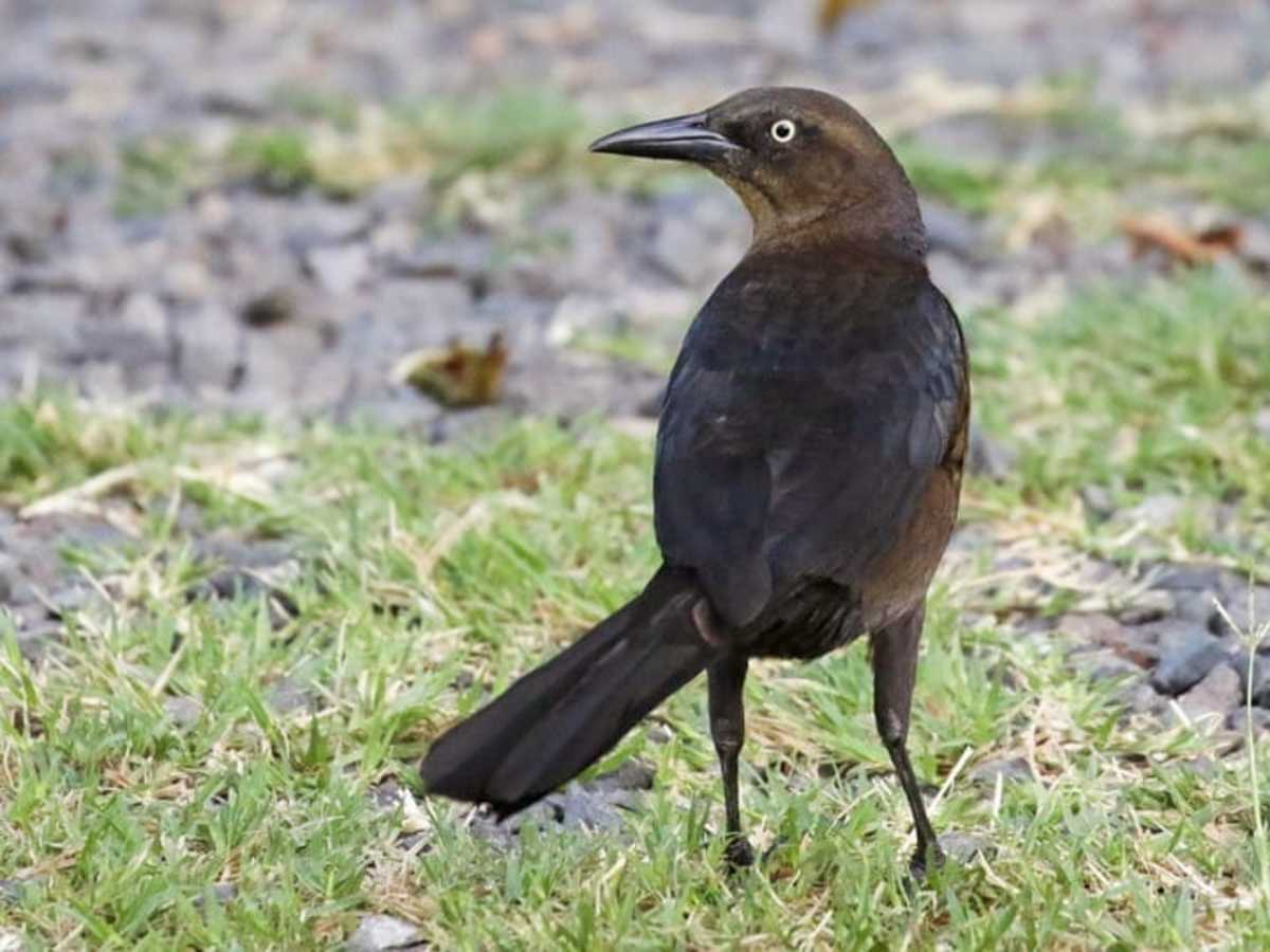 A female great-tailed grackle has dark brown upper parts with lighter parts below.  The throat is a buff color and there is a stripe above each eye.  The female has the same piercing yellow eyes as the male.
