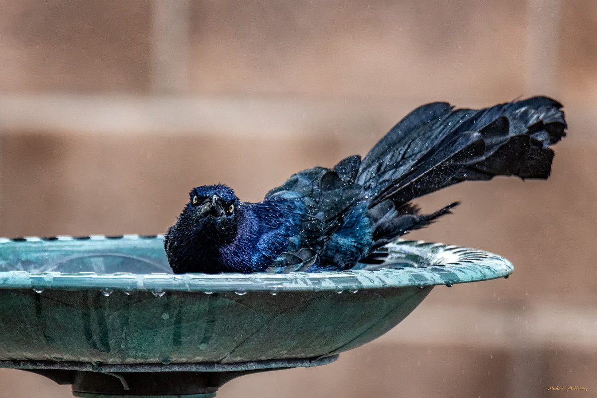 The average lifesan of a great-tailed grackle in the wild is about 12 years.