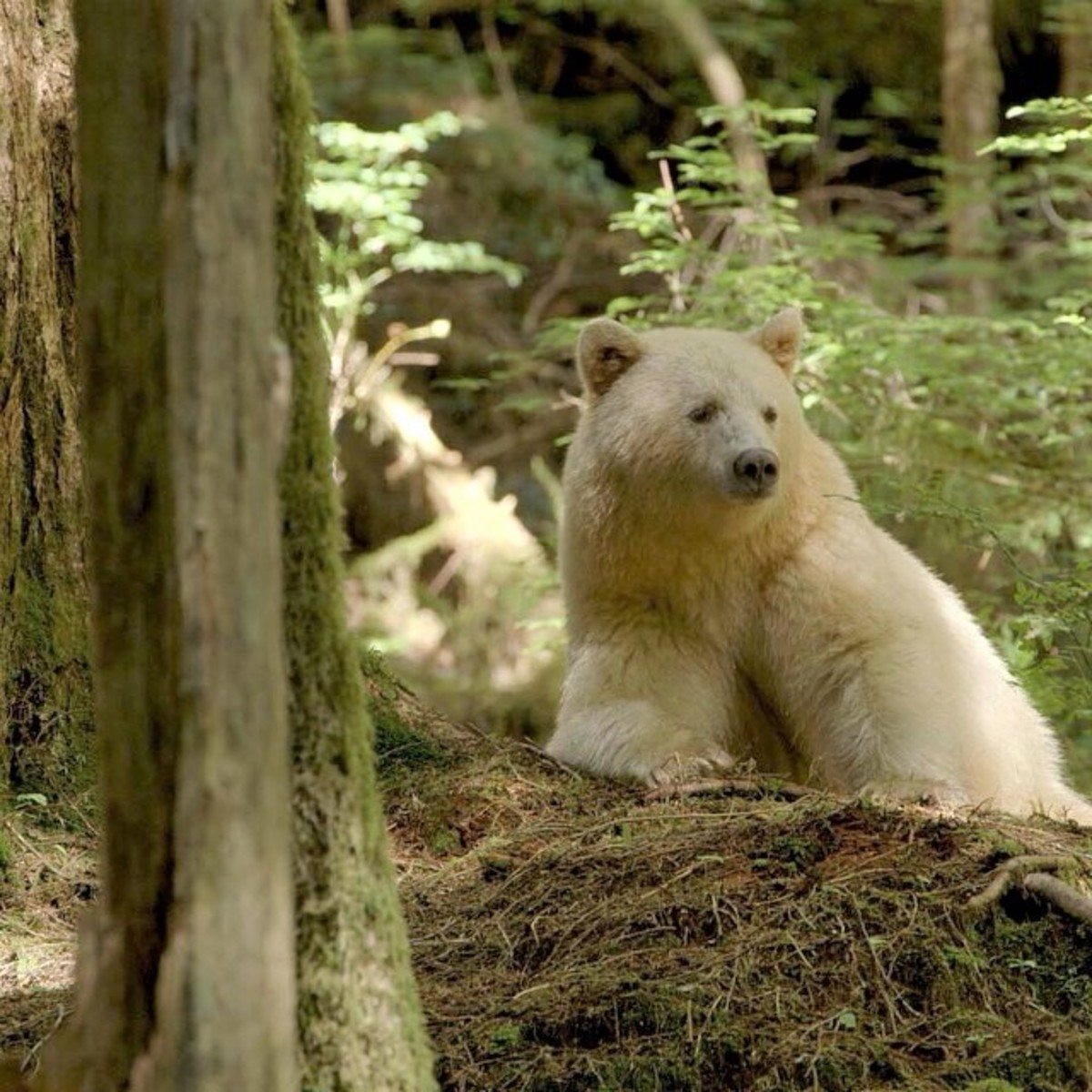 A spirit bear in the Great Bear Rainforest