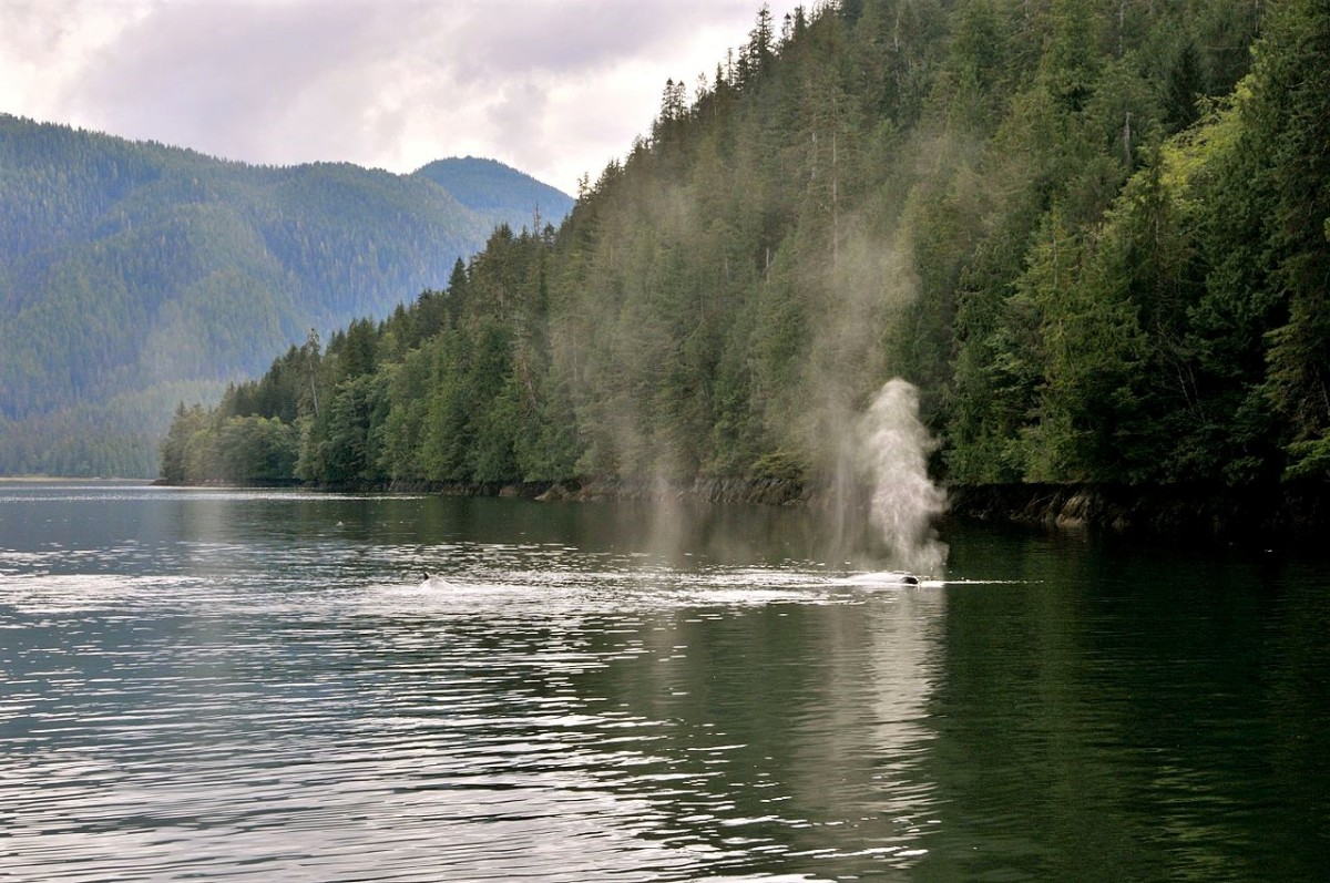 The Great Bear Rainforest and a humpback whale