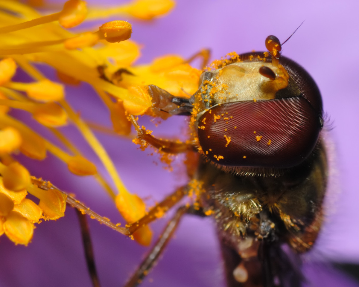 A close-up of the head of a marmelade fly with pollen in its face.