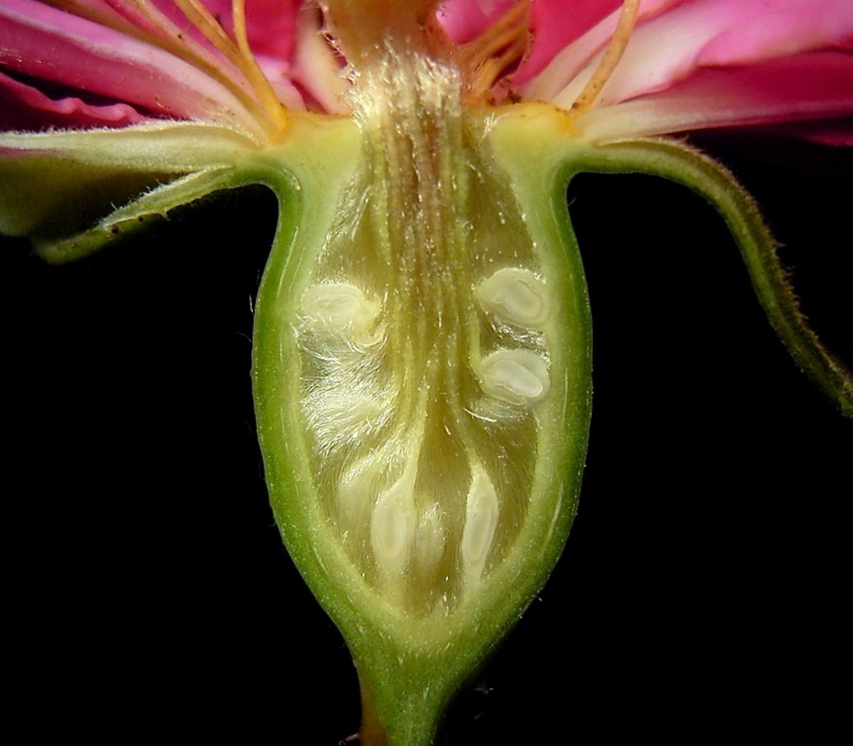 A rose pistil with the stigma that captures the pollen not shown, the pollen then travels down the pollen tubes of the style (stalks) to the ovary (ovule, white).