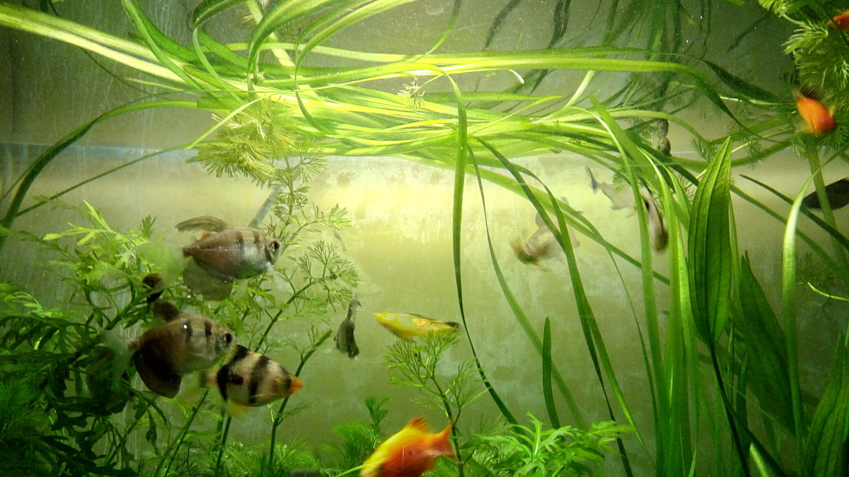 Fish Aquarium with Vallisneria.