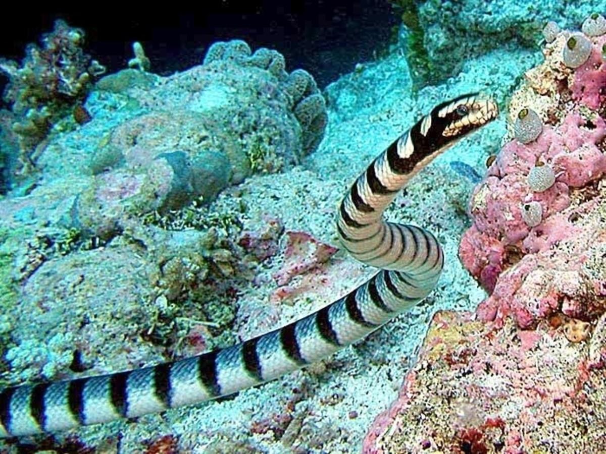 Belcher's Sea Snake lying in wait.