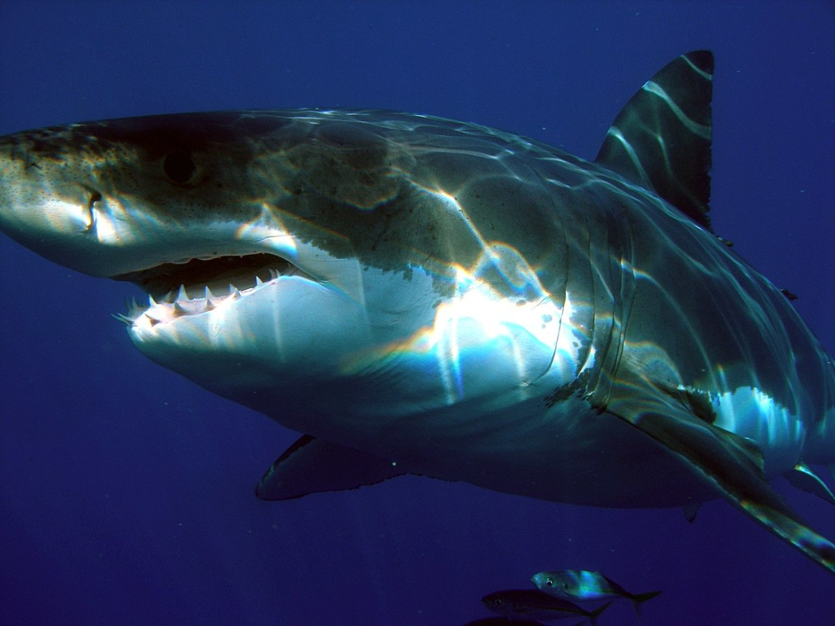 Great White Shark spotted in the ocean deep. Notice the shark's incredible size and razor sharp teeth.