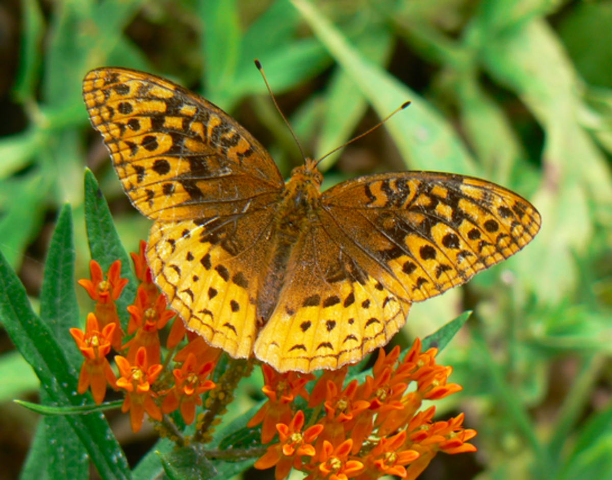Great spangled fritillary upperside