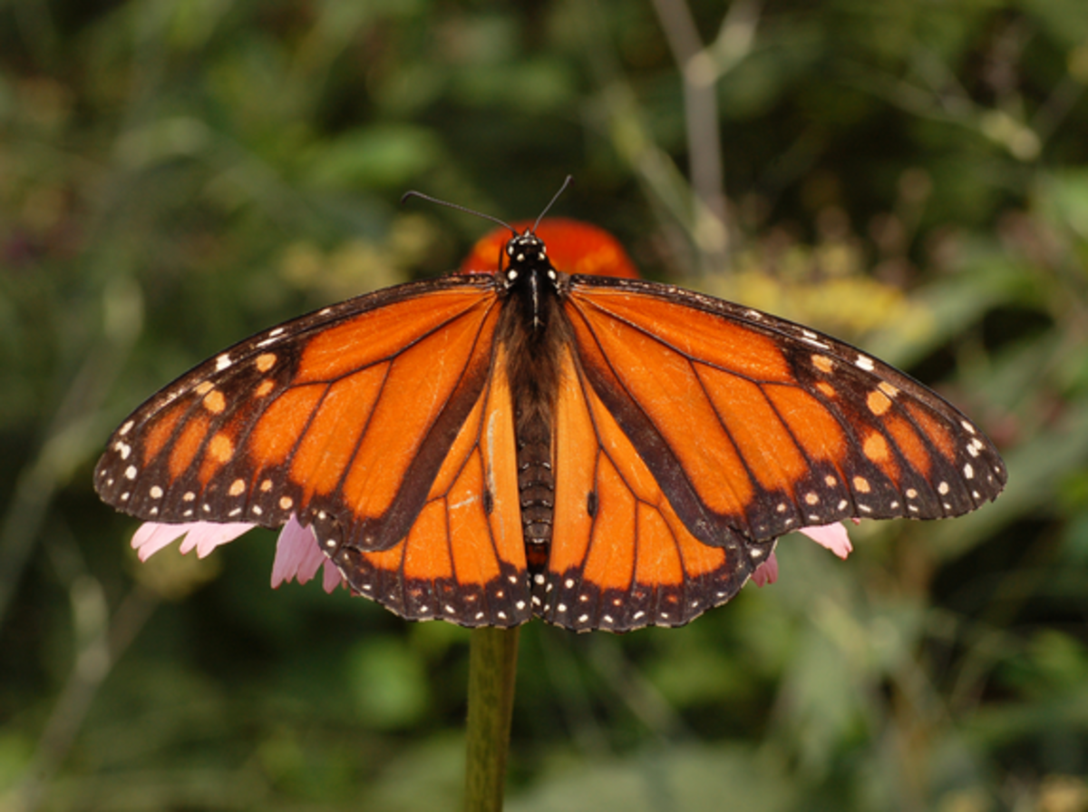 Monarch upperside