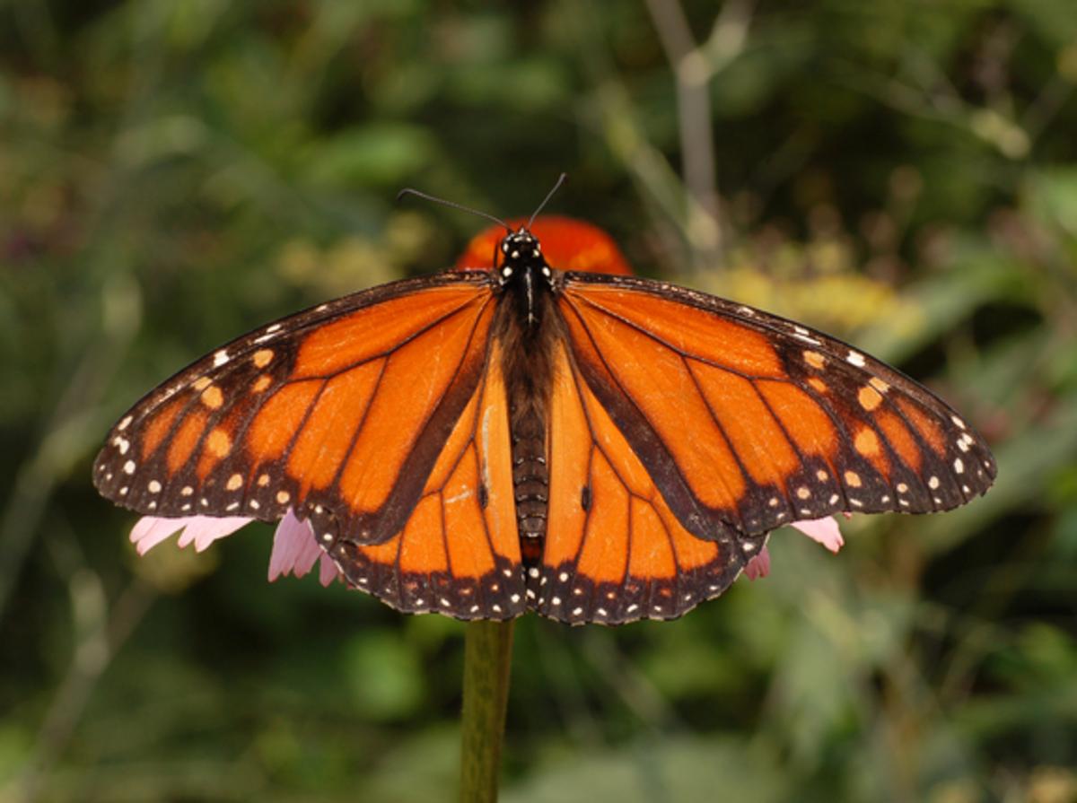 Monarch upperside