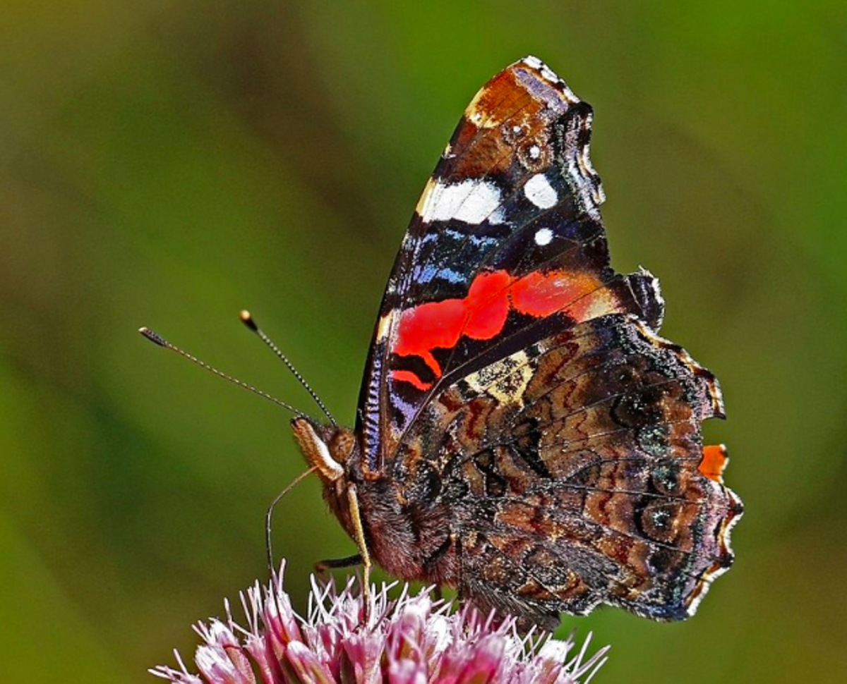 Red admiral showing cryptic underside